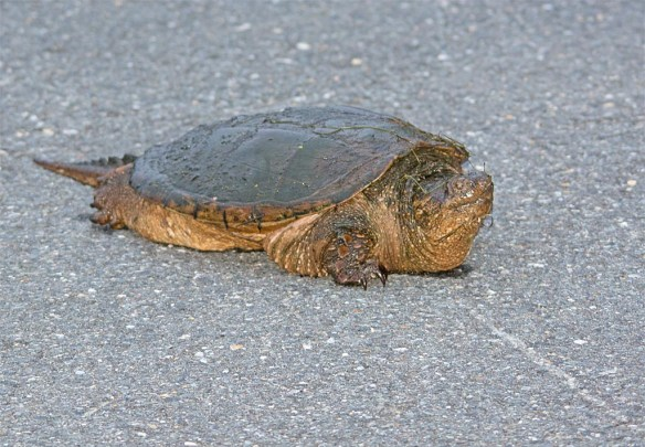 Snapping Turtle 22