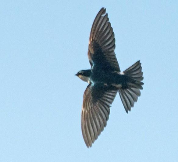Tree Swallow 2017-48