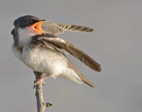 Tree Swallow 2017-51