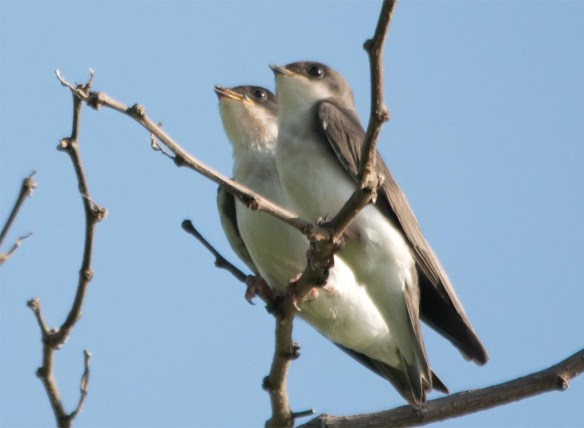 Tree Swallow 2017-61