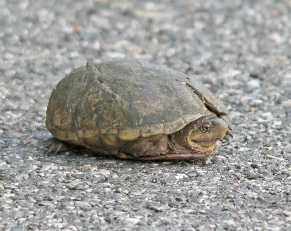 Turtle 77