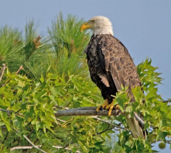 Bald Eagle 2017-134