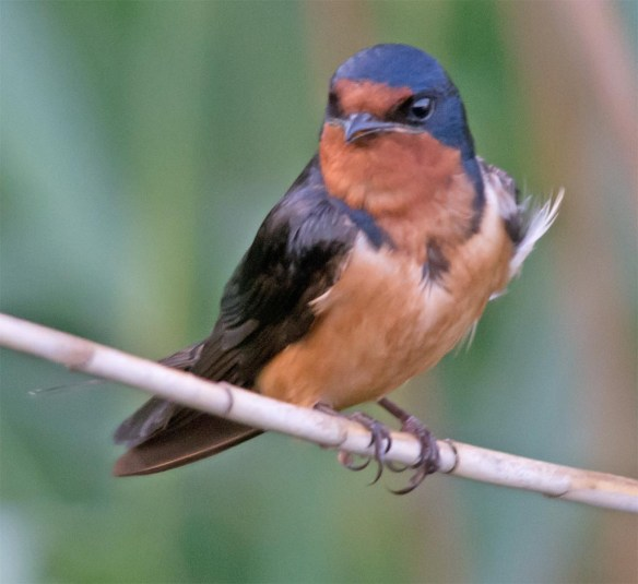 Barn Swallow 2017-18