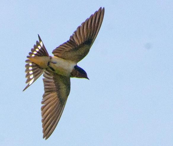 Barn Swallow 2017-28