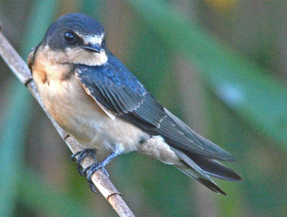 Barn Swallow 2017-29