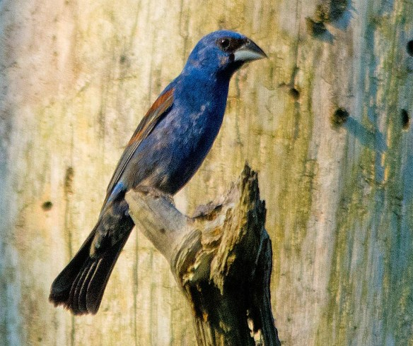 Blue Grosbeak 2017-4