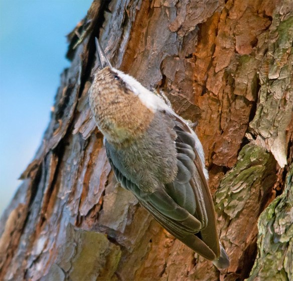 Brown Headed Nuthatch 2017-20