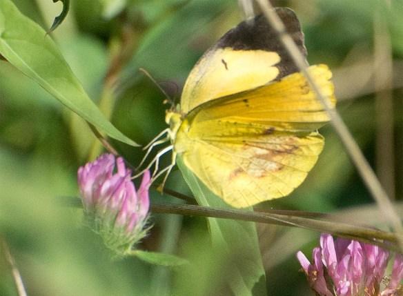 Butterfly 56