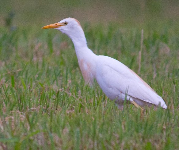 Cattle Egret 2017-2