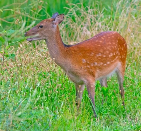 Deer-65