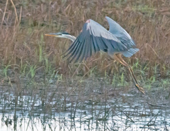 Great Blue Heron 2017-51