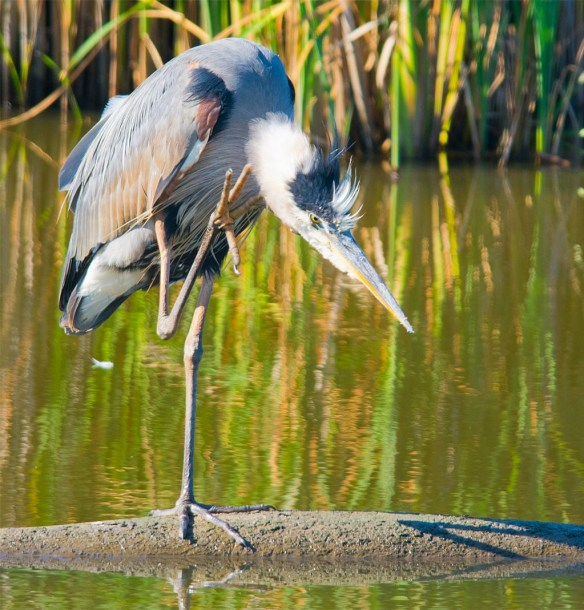 Great Blue Heron 2017-60