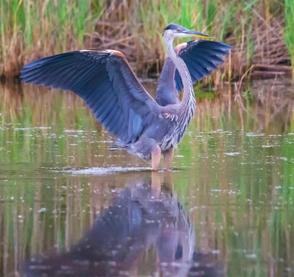 Great Blue Heron 2017-72