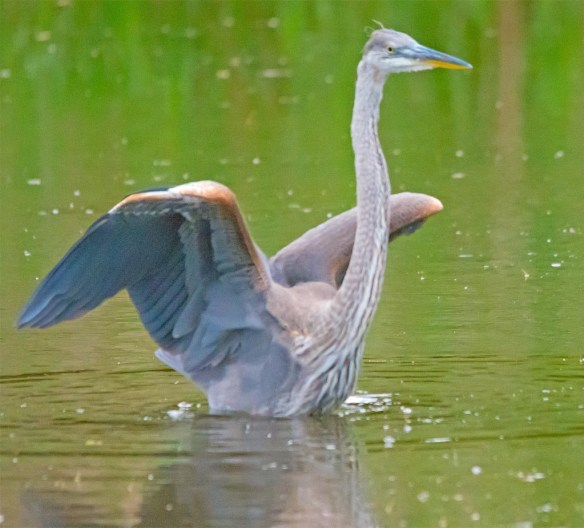 Great Blue Heron 2017-73