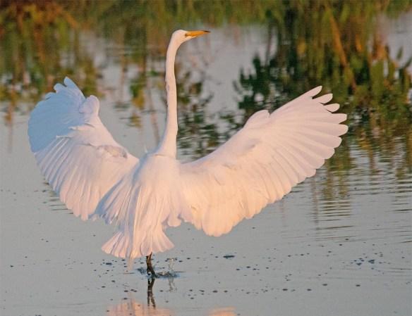 Great Egret 2017-74