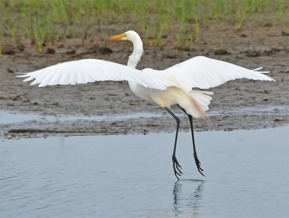 Great Egret 2017-82
