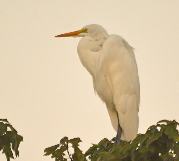 Great Egret 2017-87