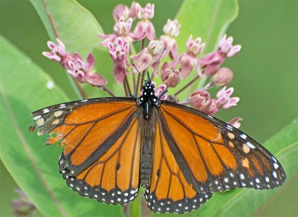 Monarch 45