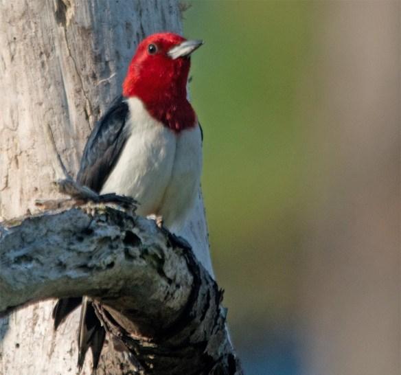 Red Headed Woodpecker 2017-37