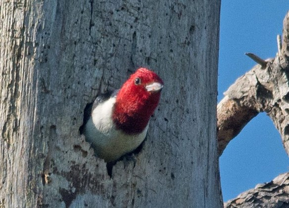 Red Headed Woodpecker 2017-41