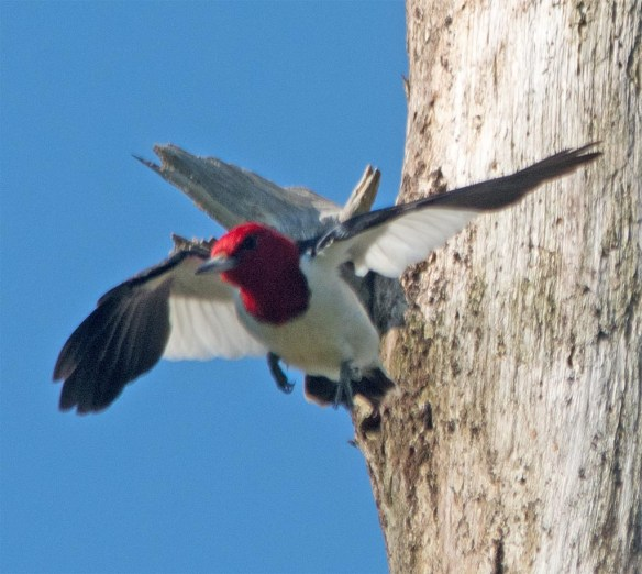 Red Headed Woodpecker 2017-42