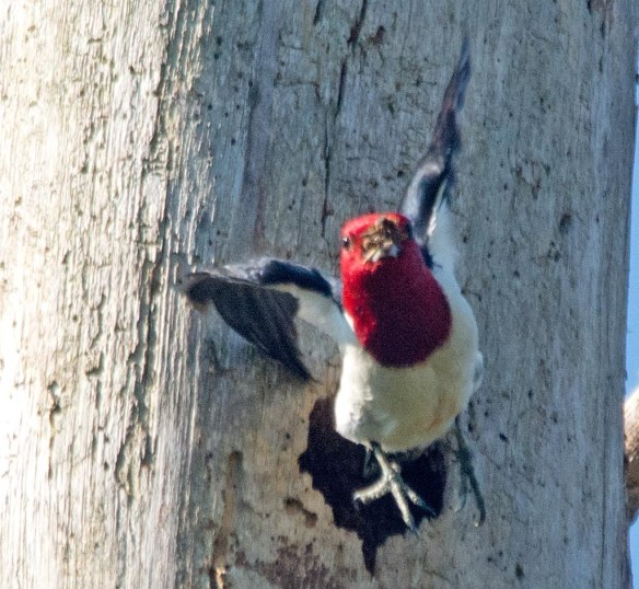 Red Headed Woodpecker 2017-43