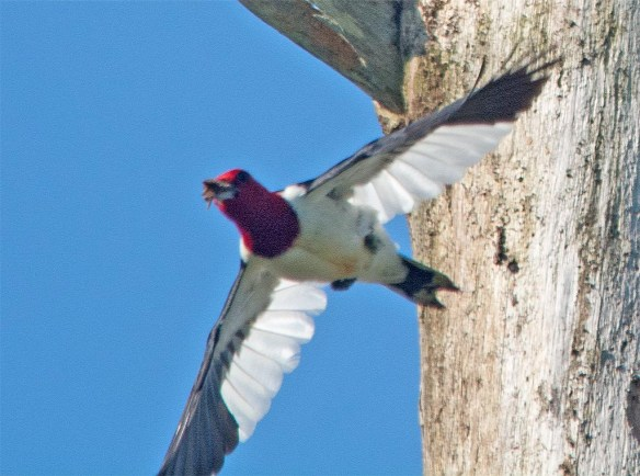 Red Headed Woodpecker 2017-44