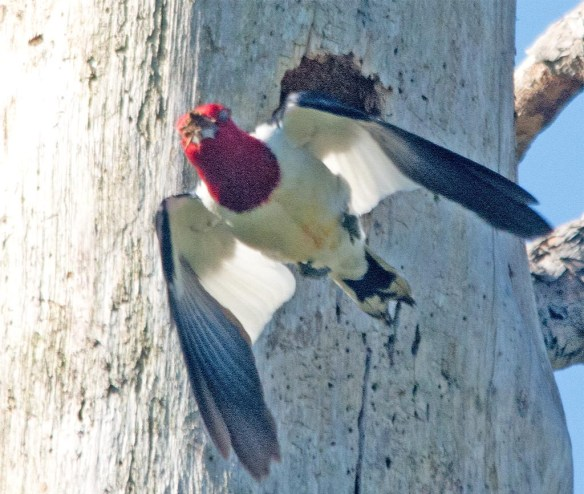 Red Headed Woodpecker 2017-45