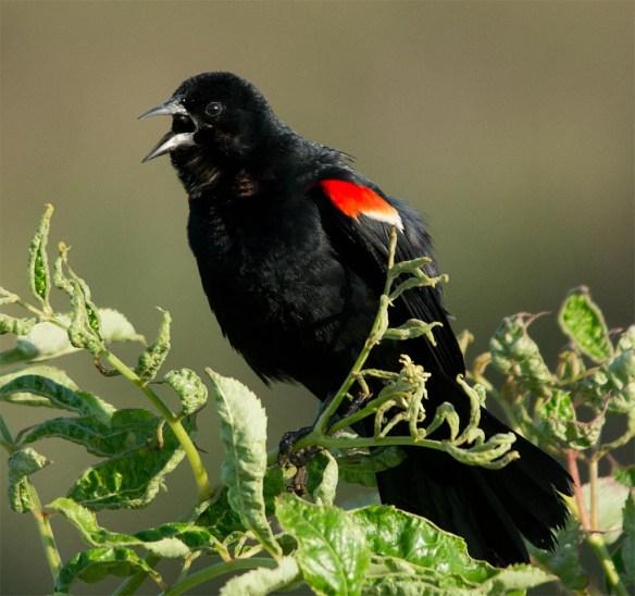 Red Winged Blackbird 2017-82