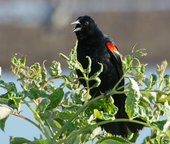 Red Winged Blackbird 2017-84