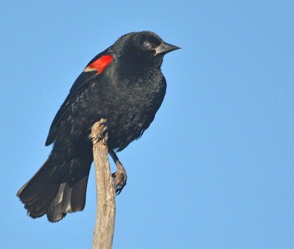 Red Winged Blackbird 2017-98