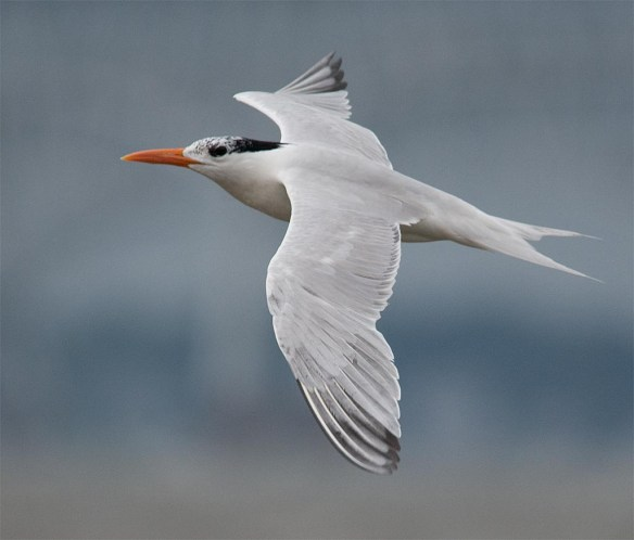 Royal Tern 2017-2