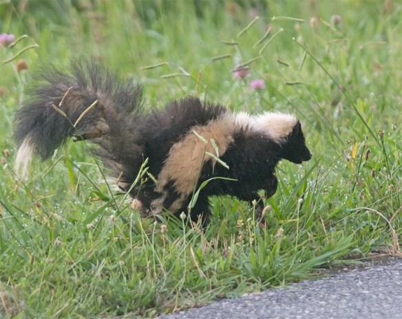 Skunk 6