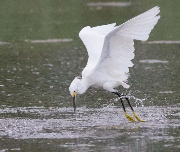 Snowy Egret 2017-43