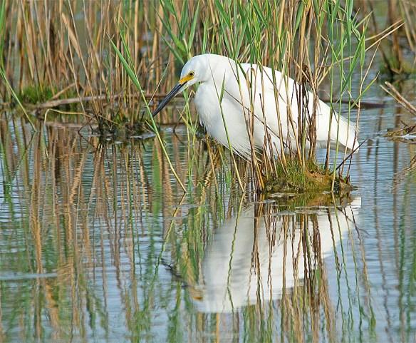 Snowy Egret 2017-44