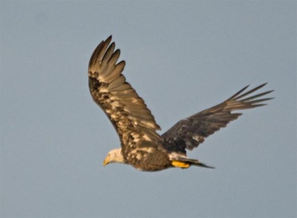 Bald Eagle 2017-146