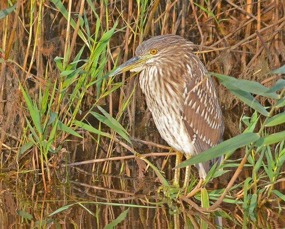 Black Crowned Night Heron 2017-13