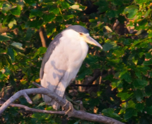 Black Crowned Night Heron 2017-9