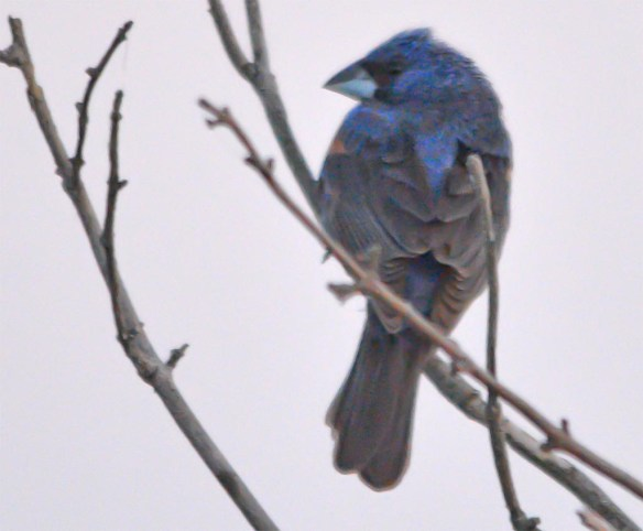 Blue Grosbeak 2017-12