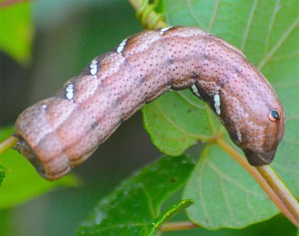 Caterpillar 228