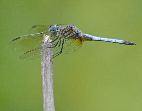 Dragonfly 105