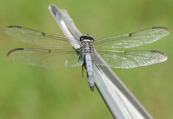Dragonfly 112