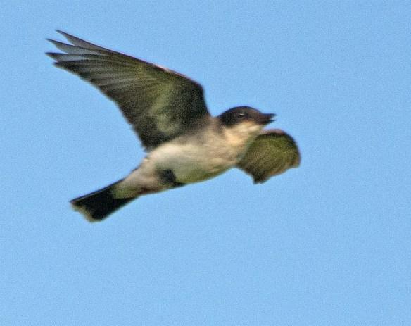 Eastern Kingbird 2017-20