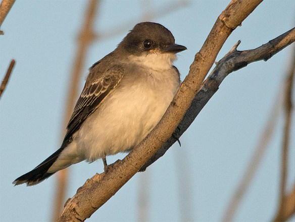 Eastern Kingbird 2017-24