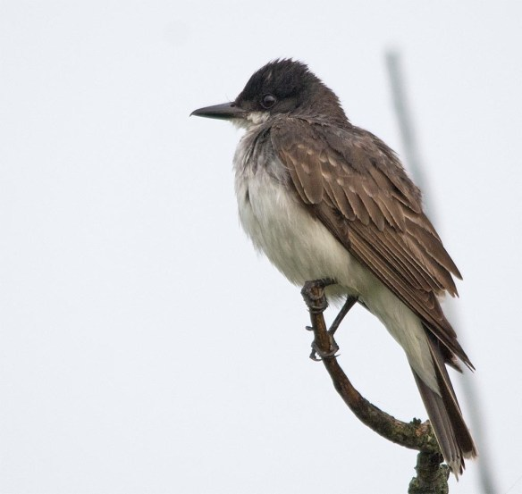 Eastern Kingbird 2017-30