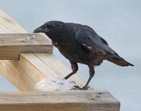 Fish Crow 2017-1
