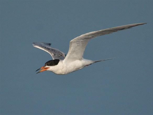 Forster's Tern 2017-22