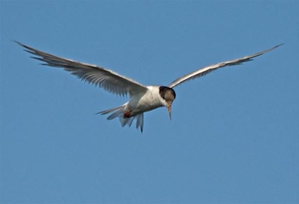 Forster's Tern 2017-50