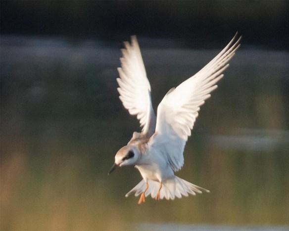 Forster's Tern 2017-53