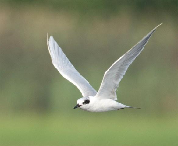 Forster's Tern 2017-70